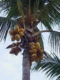 ココナツオイル(ヤシ油)