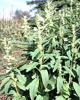 セサミオイル(ゴマ油)草