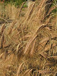 小麦胚芽オイル(ウイートジャムオイル)
