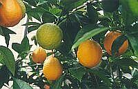 スイートオレンジ